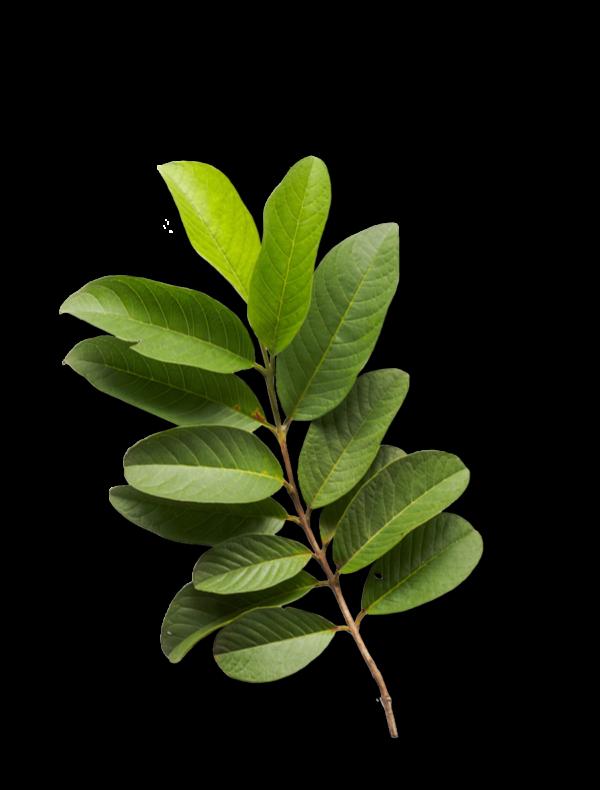 Guaveblatt Ogaenics Zutaten