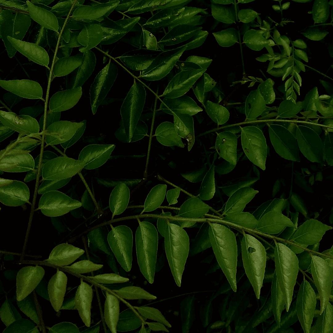Ogaenics-bio-zutaten-natuerliche-vitamine-curryblatt-eisen