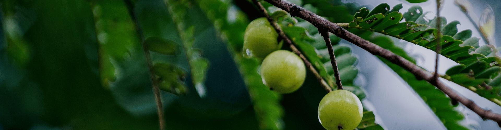 Ogaenics-Zutaten-Bio-Amla