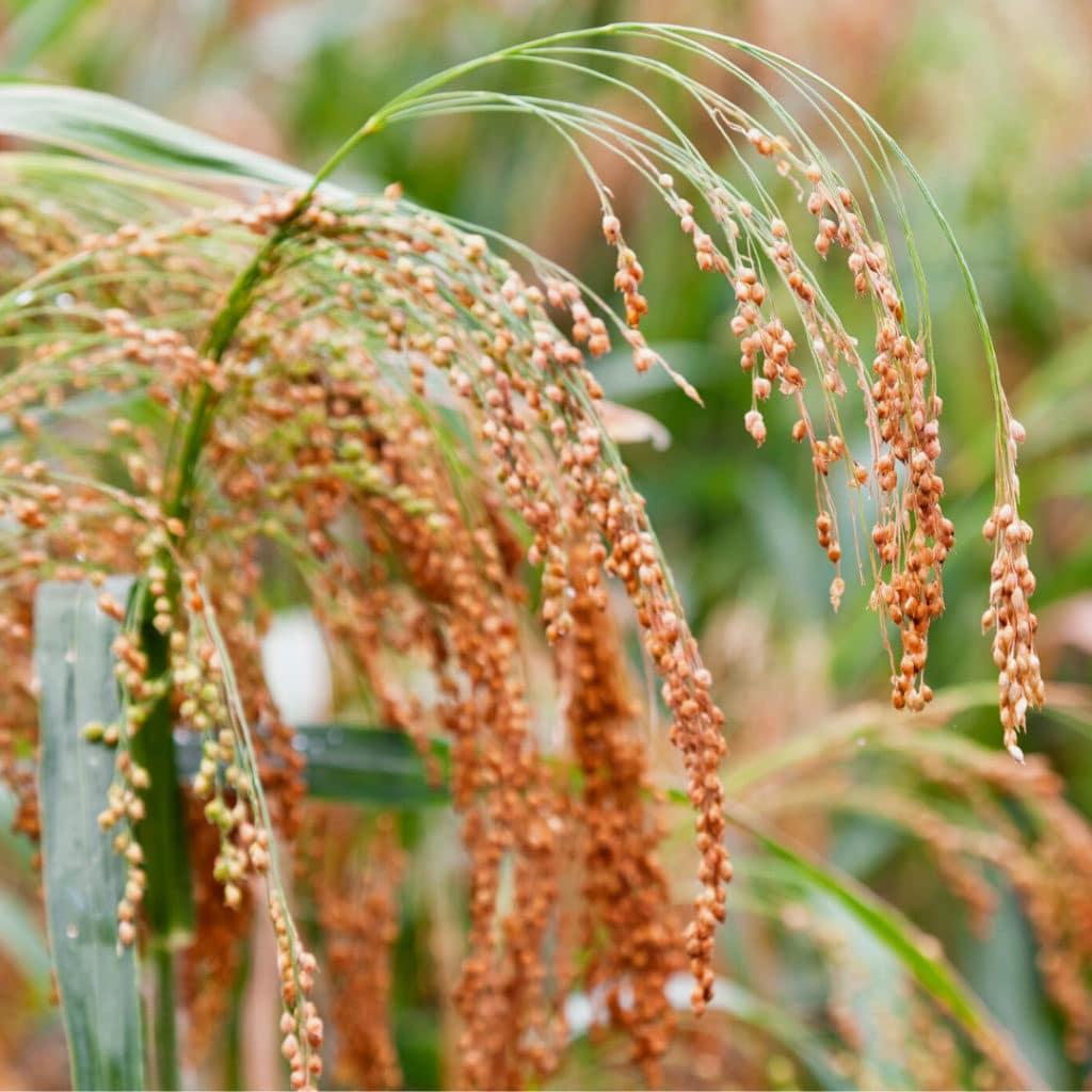 Ogaenics-bio-zutaten-natuerliche-vitamine-hirse