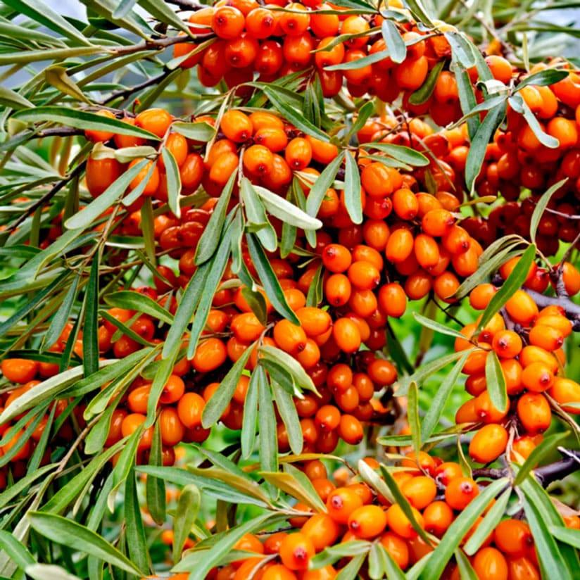 Ogaenics-bio-zutaten-natuerliche-vitamine-sanddorn-omega2-fettsaeuren