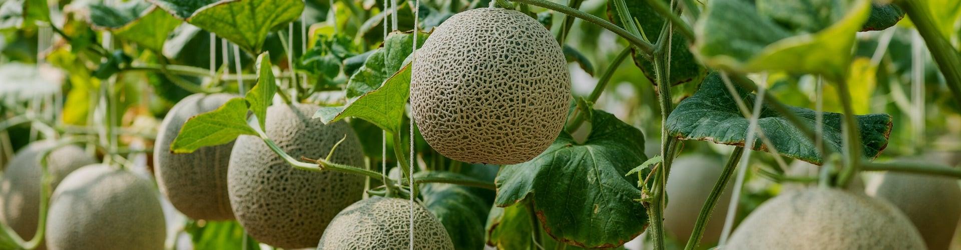 bio-melone-in-natuerlicher-form-Ogaenics-zutaten