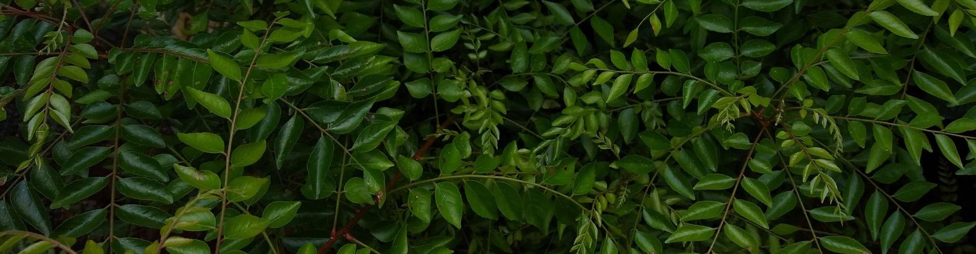 bio-curryblatt-in-natuerlicher-form-Zutaten_Ogaenics