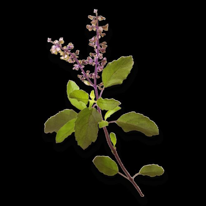 bio-koenigsbasilikum-biotin-vitamin-b3-ogaenics-zutat-natuerlich